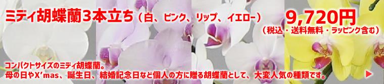 ミディ胡蝶蘭3本立ち(白、ピンク、リップ、イエロー)